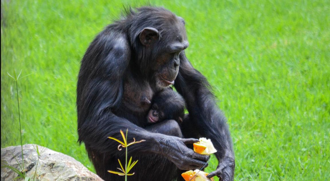 Животные Биопарка Валенсии переносят жару благодаря вкусному мороженому