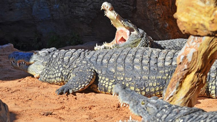 Новыми жителями Биопарка Валенсии становятся три нильских крокодила