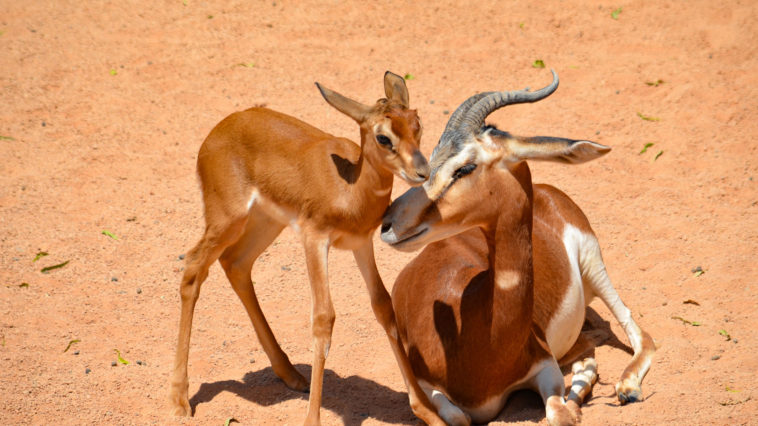 Детёныш редкой марокканской газель-дамы и гигантские Альдабрские черепахи – новые «достопримечательности» Биопарка Валенсии